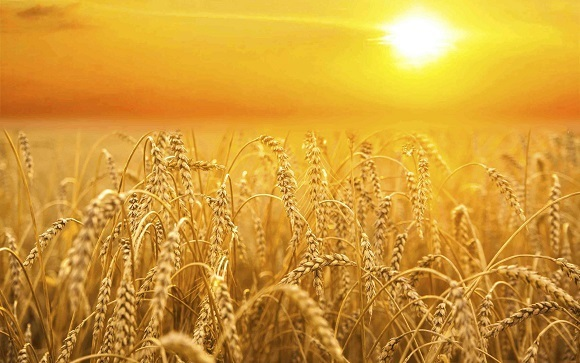 grainfield-sunset-gold.jpg